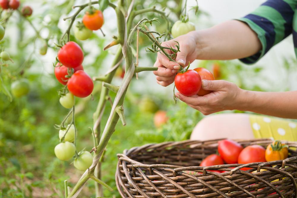 5 Manfaat Tomat Organik Yang Belum Banyak Diketahui