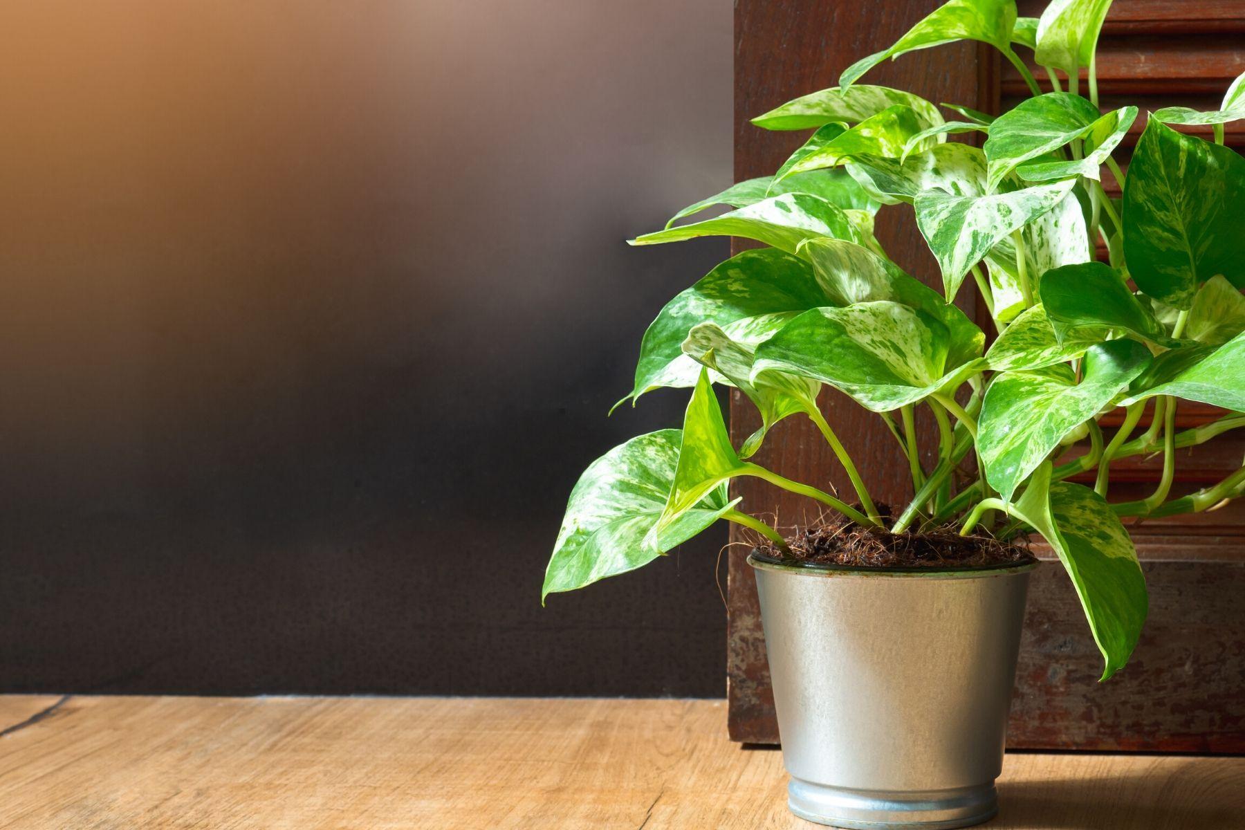 HappyFresh_10_Indoor_Plants_In_Condo_Devils_Ivy