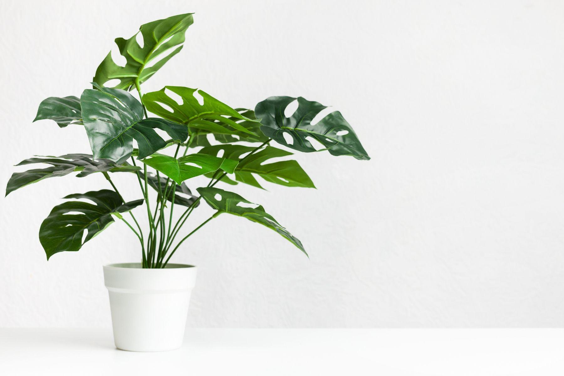 HappyFresh_10_Indoor_Plants_In_Condo_Monstera