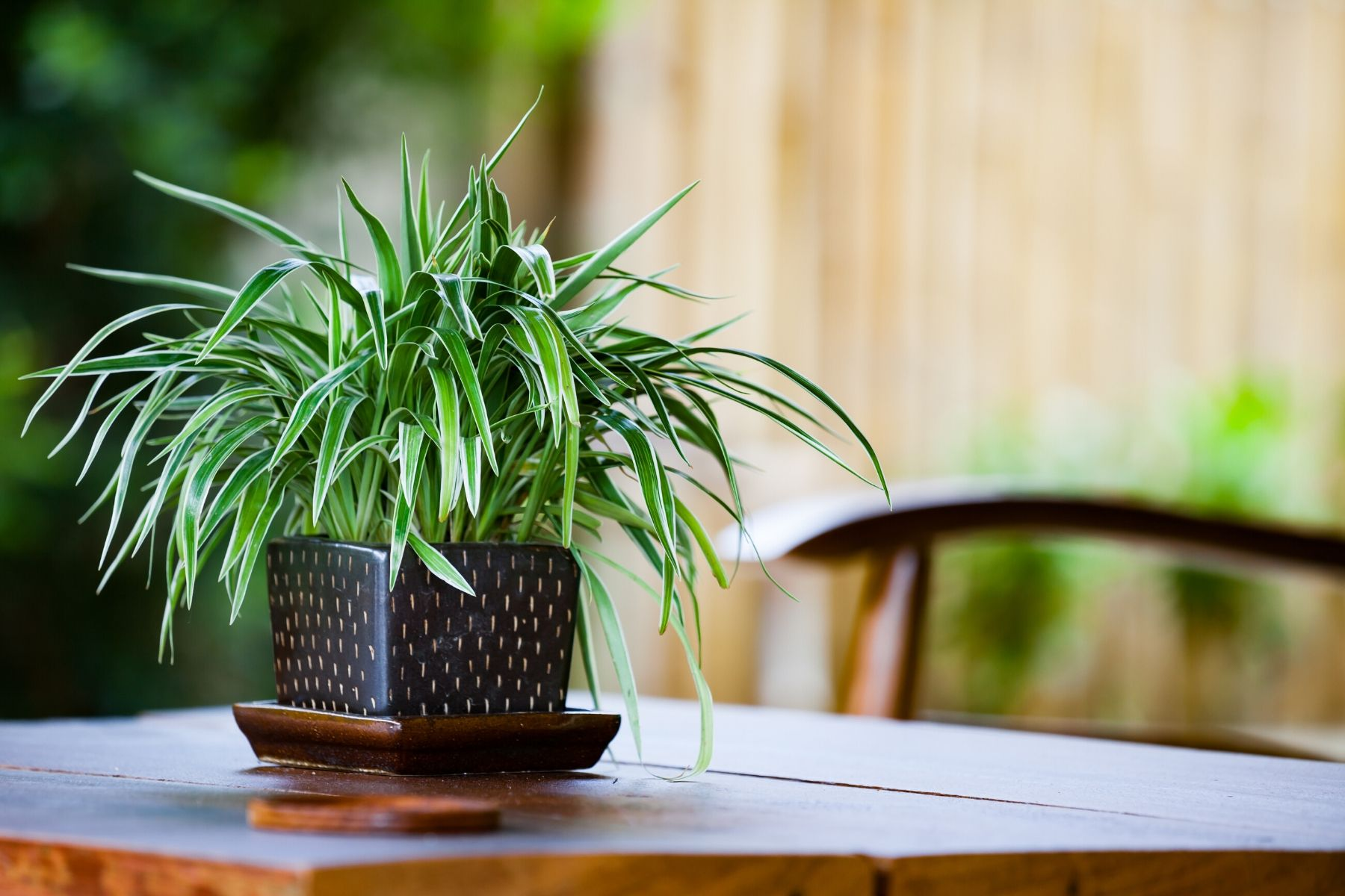 HappyFresh_10_Indoor_Plants_In_Condo_Spider_Plant