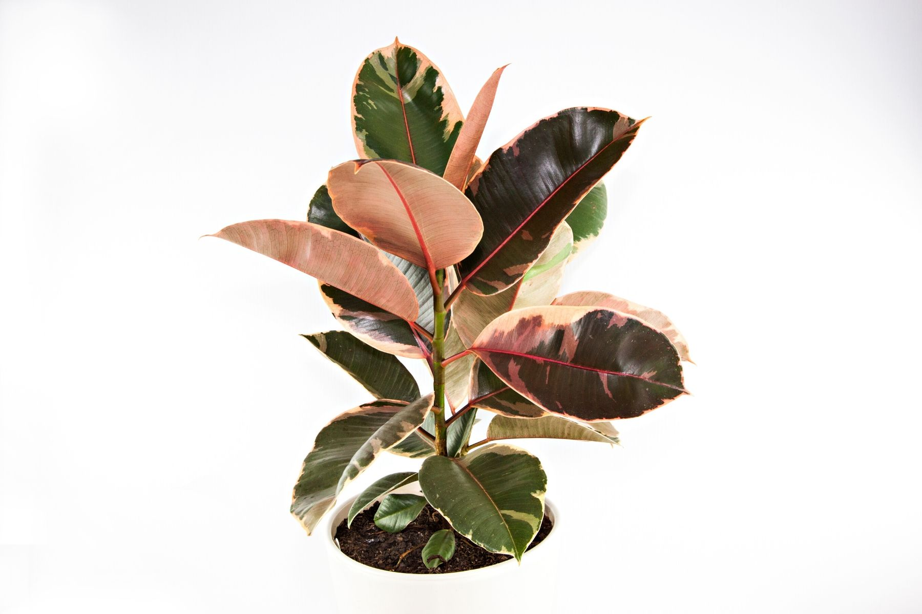 HappyFresh_10_Indoor_Plants_In_Condo_Rubber_Plant