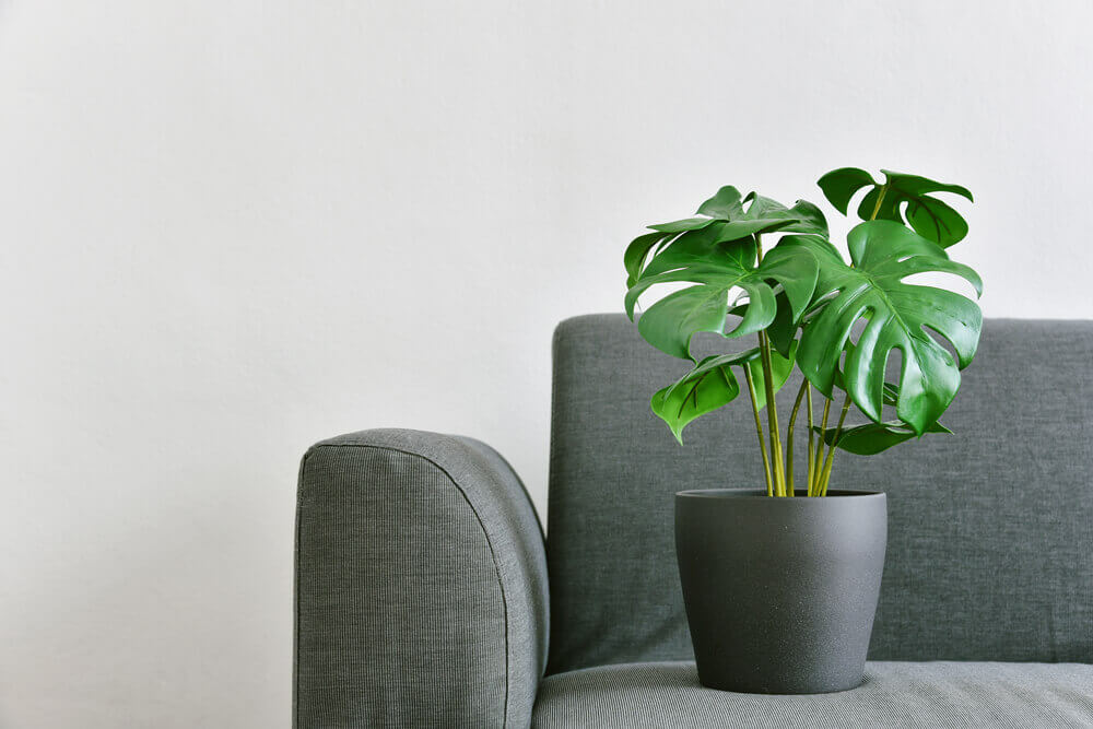 Philodendron green plant