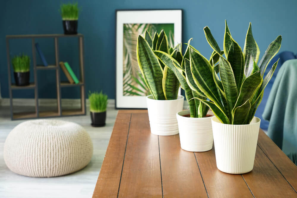 Snake plant placed indoors.